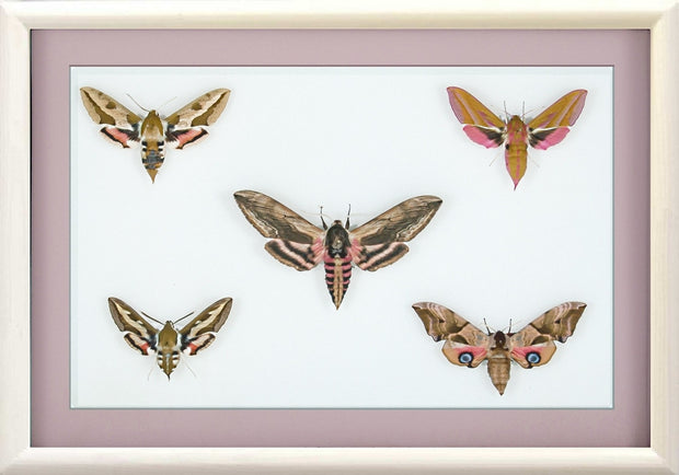 British Hawkmoths White, Moth Frame - Insect Frame UK, Insect Frame UK  - 3