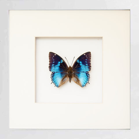 Western Blue Charaxes Fiberboard 25x25 white, Butterfly Frame - Insect Frame UK, Insect Frame UK  - 2