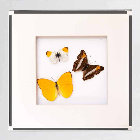 Brazil Butterfly Collection Brazil in white, Butterfly Frame - Insect Frame UK, Insect Frame UK  - 2