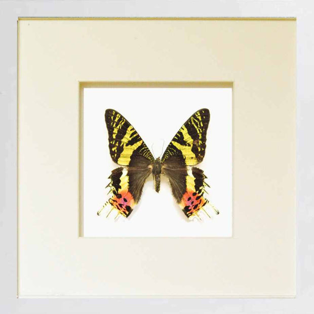Chrysiridia Rhipheus Fiberboard white, Butterfly Frame - Insect Frame UK, Insect Frame UK  - 1