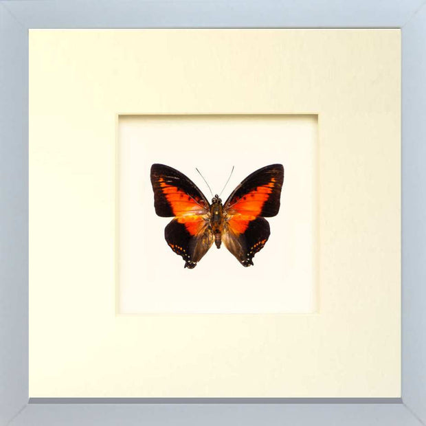 Red Charaxes Zingha Fiberboard white, Butterfly Frame - Insect Frame UK, Insect Frame UK  - 2