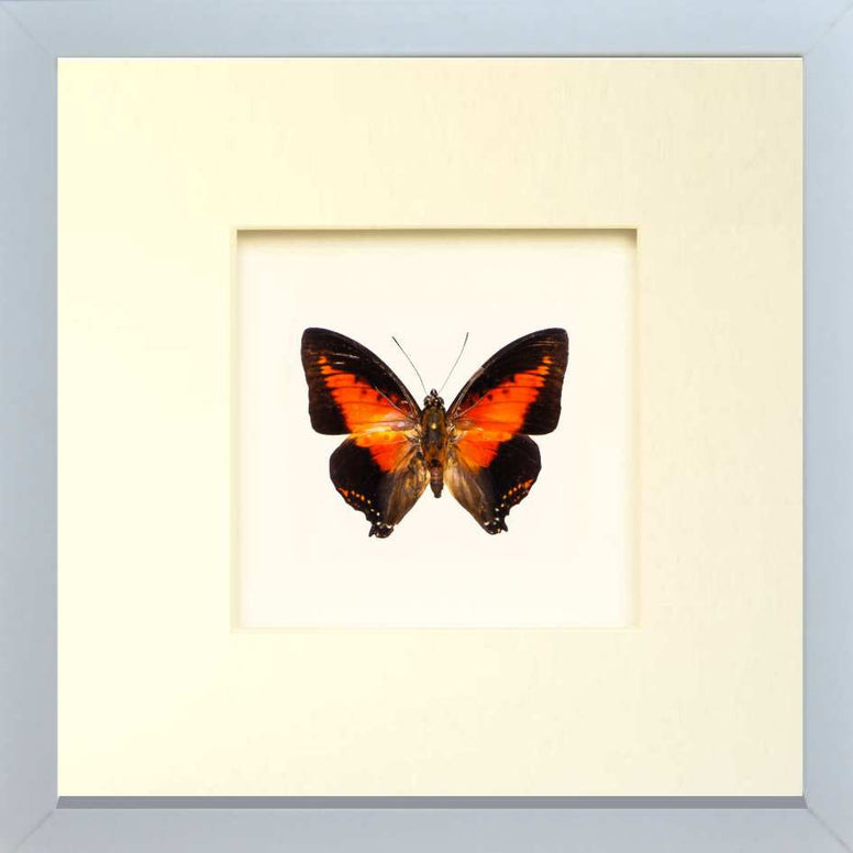 Red Charaxes Zingha - Insect Frame UK