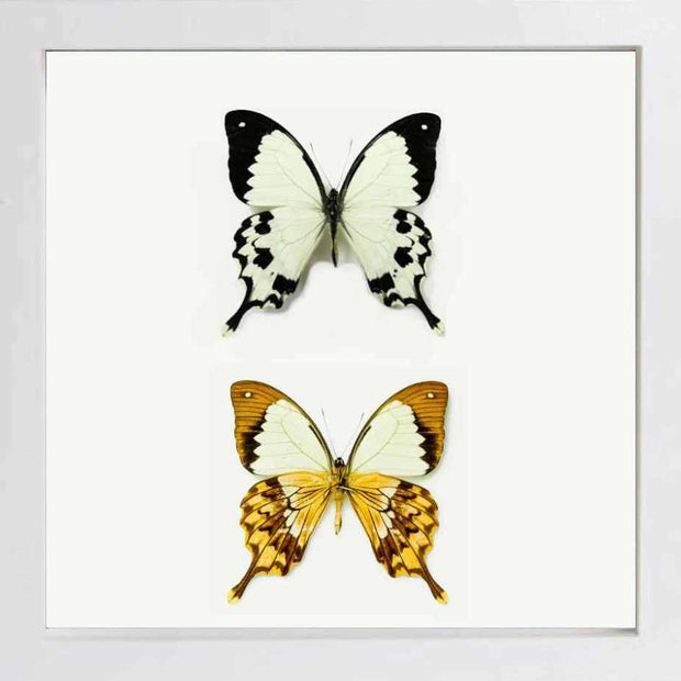Flying Handkerchief Fiberboard white, Butterfly Frame - Insect Frame UK, Insect Frame UK  - 3