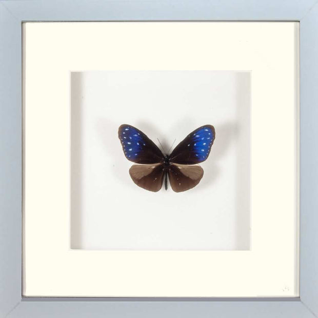 Striped Blue Crow Fiberboard white (M), Butterfly Frame - Insect Frame UK, Insect Frame UK  - 2