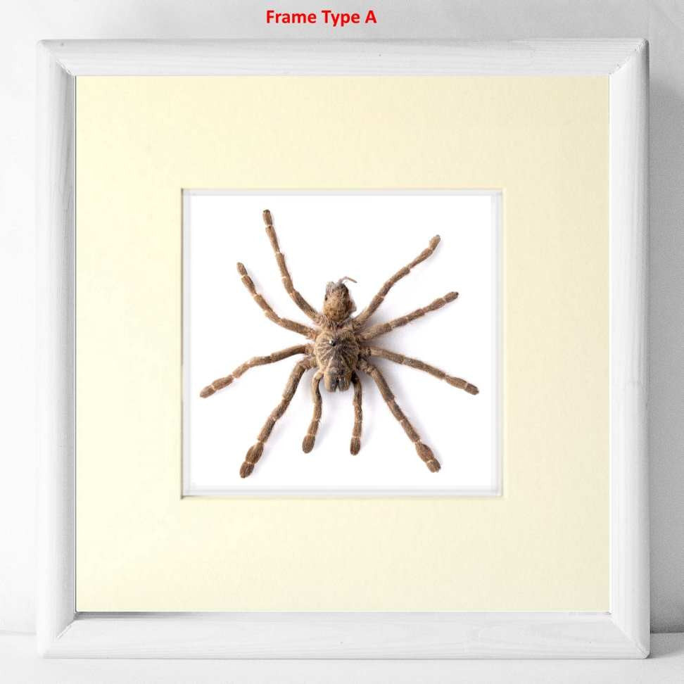 Rose Hair Tarantula Type A 25x25 white, Spider Frame - Insect Frame UK, Insect Frame UK  - 1