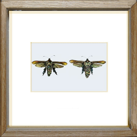 Bumblebee Moth Couple Unique sample, Moth Frame - Insect Frame UK, Insect Frame UK  - 1