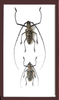 Wallace's long horn beetle Black Couple, Beetle Frame - Insect Frame UK, Insect Frame UK  - 2