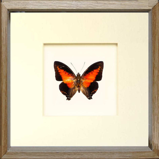 Red Charaxes Zingha Oak wood, Butterfly Frame - Insect Frame UK, Insect Frame UK  - 3