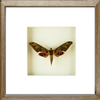 Sphinx  Adhemarius Gannascus Sphinx brown f., Moth Frame - Insect Frame UK, Insect Frame UK  - 2