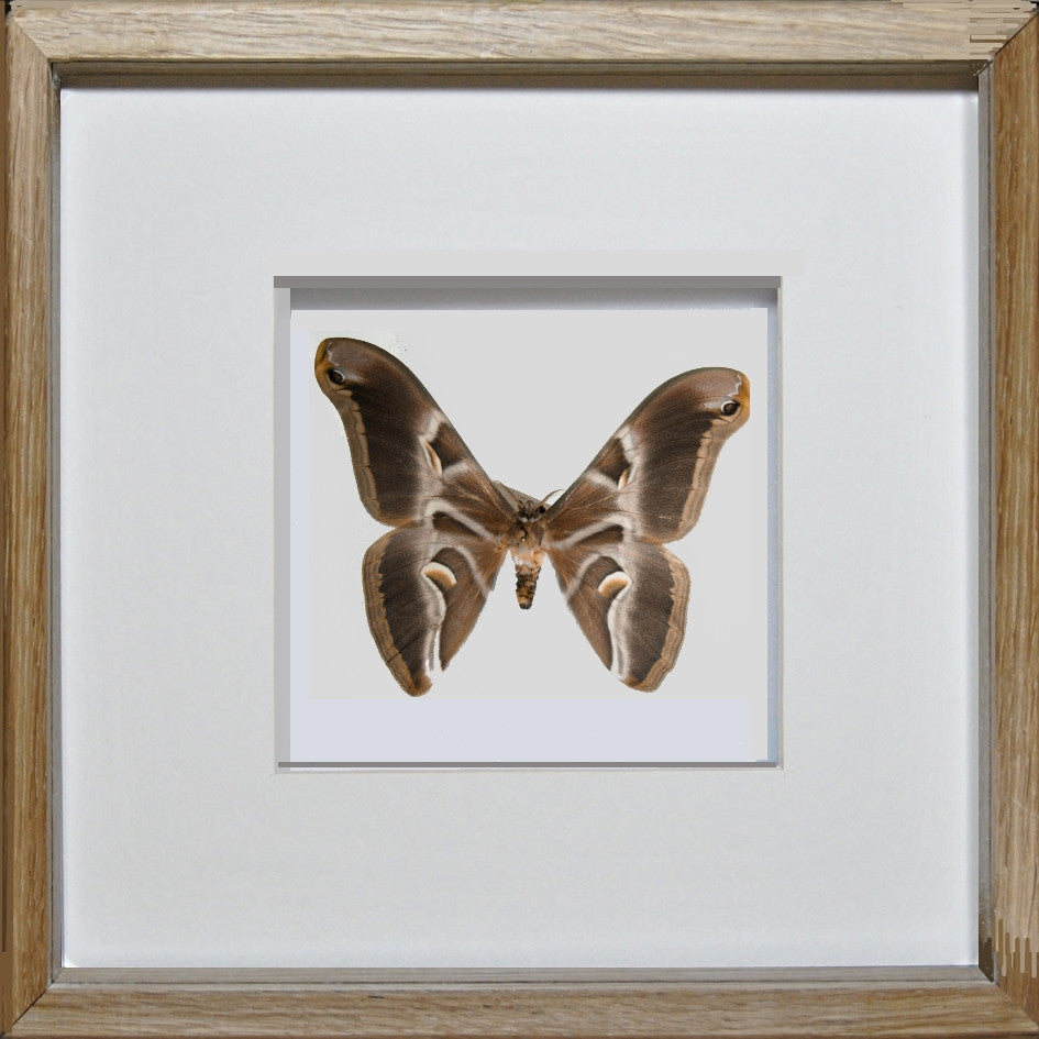 A lovely framed ailanthus silkmoth in a handmade display frame ailanthus silkmoth oak frame white background moth frame insect frame uk insect jeuxipadfo Gallery