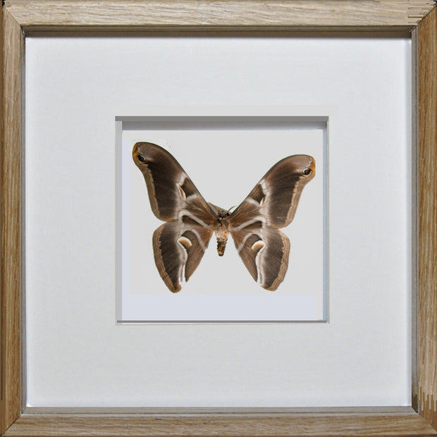 Ailanthus Silkmoth Oak Frame - White Background, Moth Frame - Insect Frame UK, Insect Frame UK  - 1