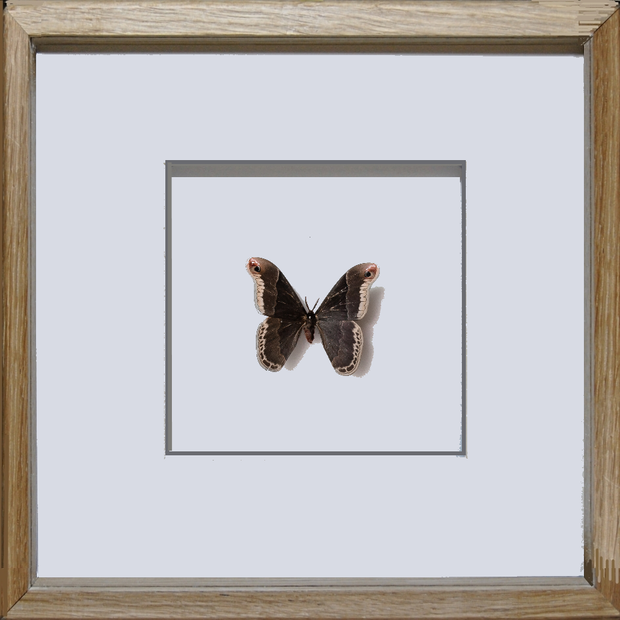 Silky Hawk Moth Oak Frame - White Background, Moth Frame - Insect Frame UK, Insect Frame UK  - 2