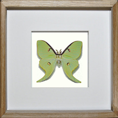Actias Luna Oak Frame - White Background, Moth Frame - Insect Frame UK, Insect Frame UK  - 2