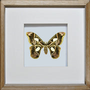 Rothschildia Moth - Insect Frame UK