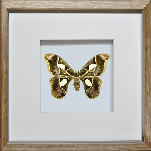Rothschildia Moth Rothschildia on wood, Moth Frame - Insect Frame UK, Insect Frame UK  - 3
