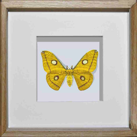 Borneo Moth - Insect Frame UK
