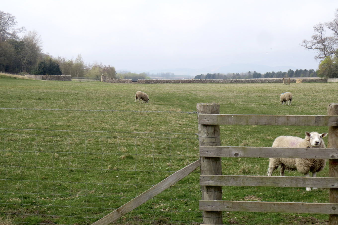 Sheep at Balgove Larder farm in St. Andrews, Scotland