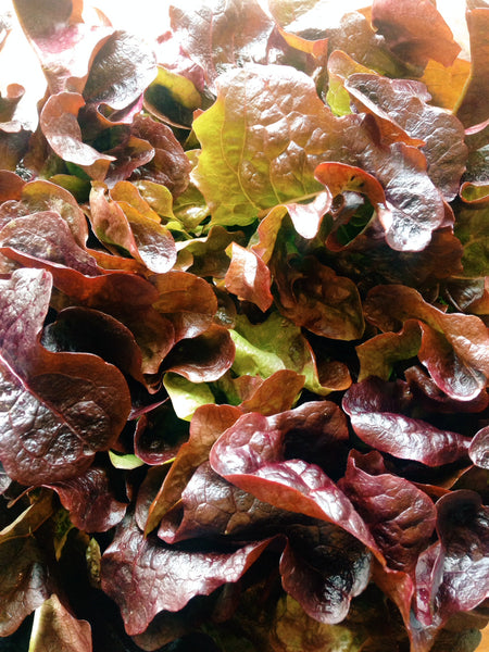Lettuce 'Red Oak'