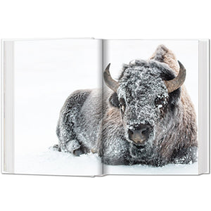 Bisons in Snow