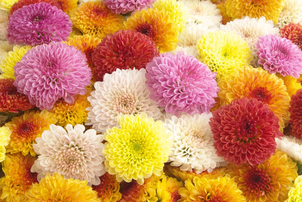 chrysanthemum delivery - flower shop sunshine coast