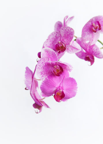 Orchid Plants Delivered Sunshine Coast