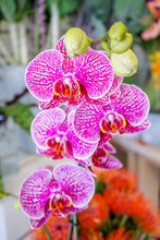 Load image into Gallery viewer, Elegant Orchid Plant