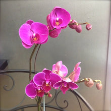 Load image into Gallery viewer, Orchid Plants Delivered Sunshine Coast