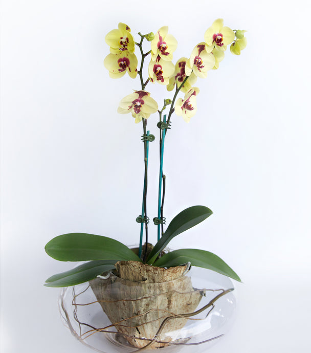 Designer Orchid Plant Vase Delivered Sunshine Coast - Plant Gifts - Corporate Gifts