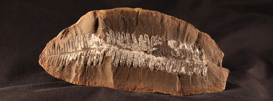 fossile fougere