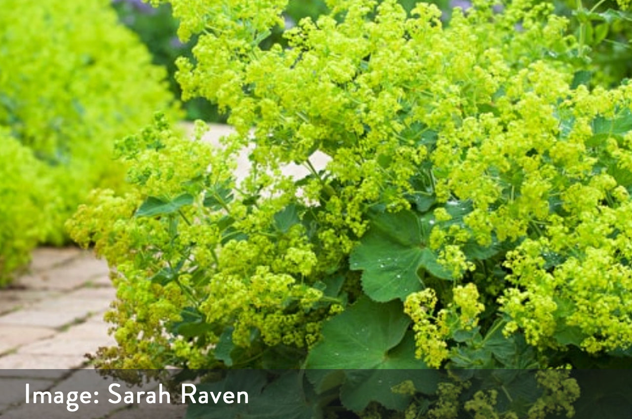 Alchemilla Mollis great plants
