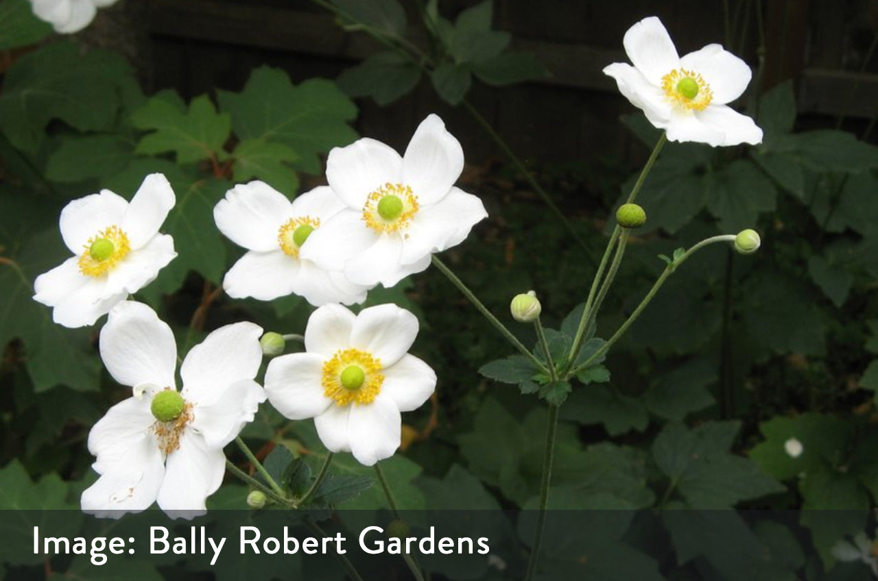 Japanese Anemone 'Honorine Jobert' great for shade