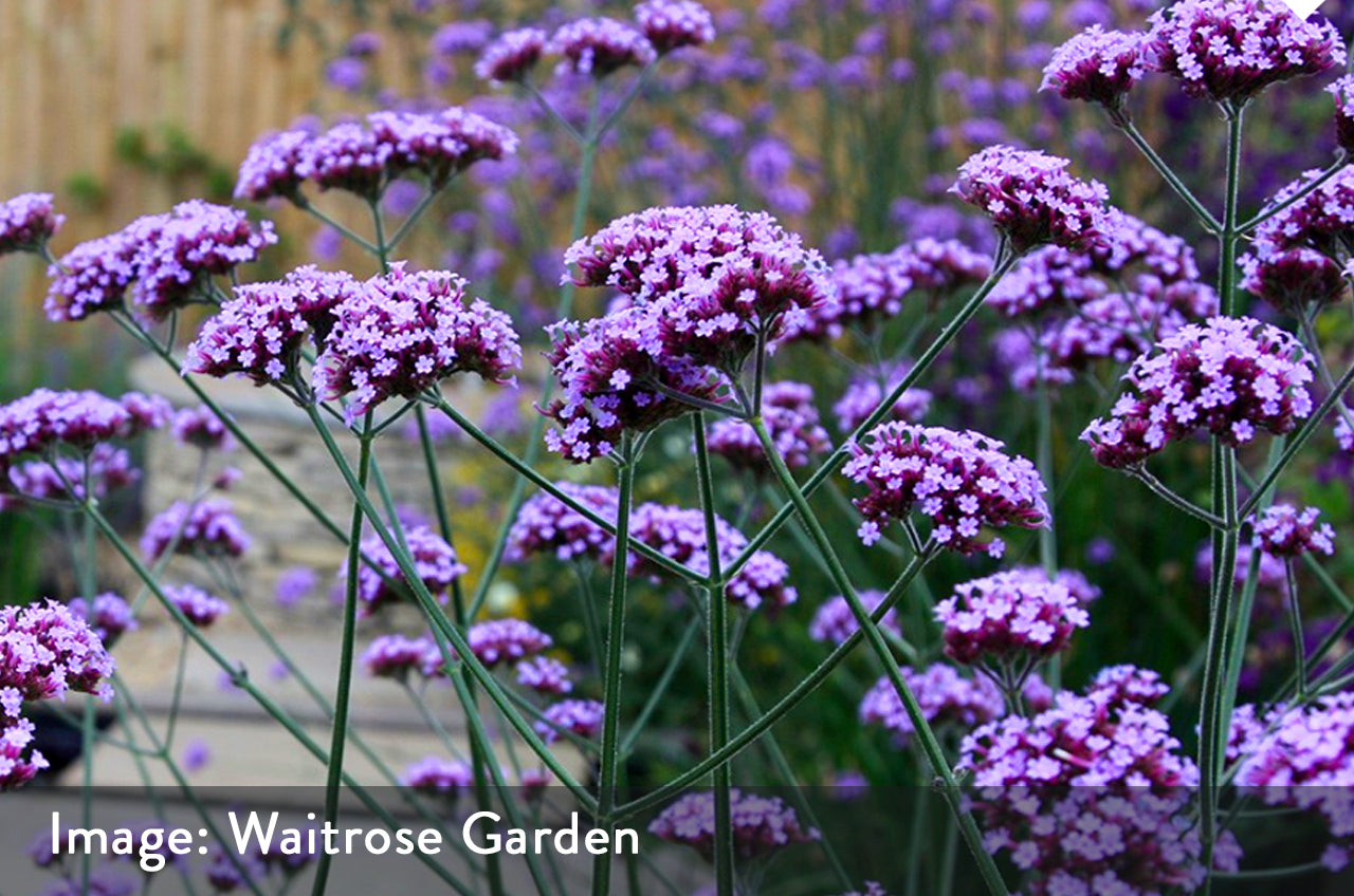 verbena bonariensis bee friendly