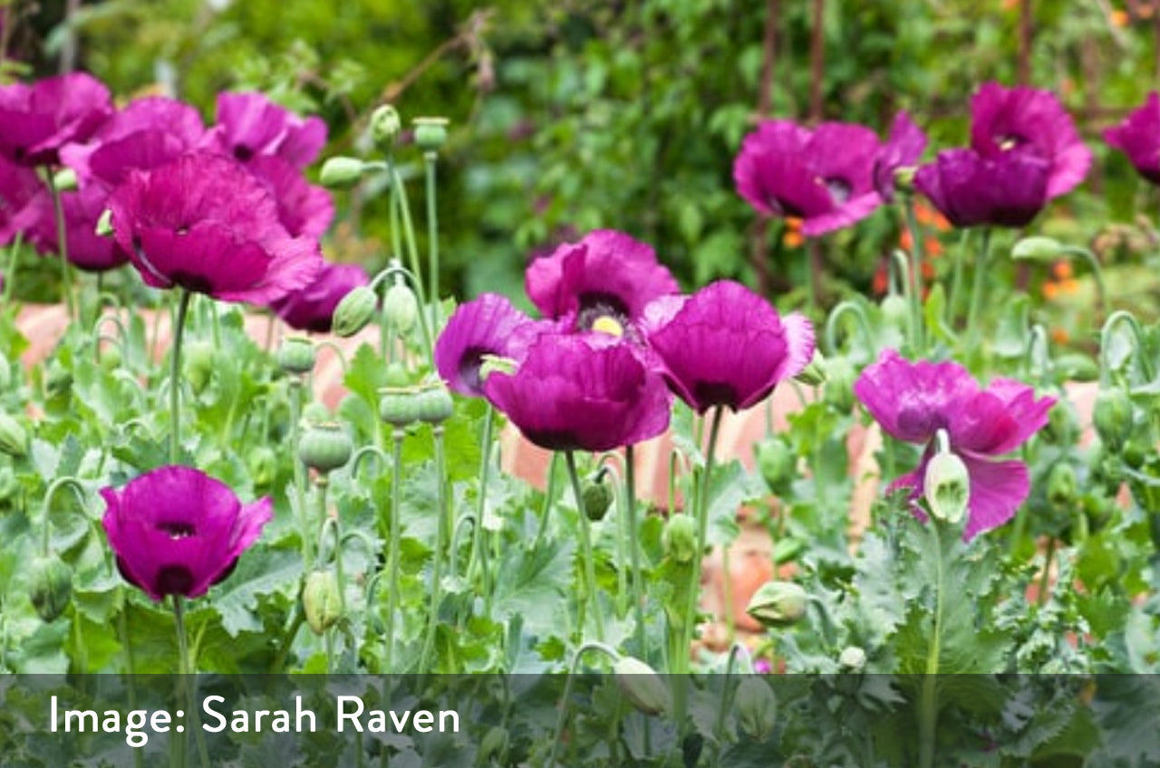 Poppy – Papaver somniferum 'Dark Plum'