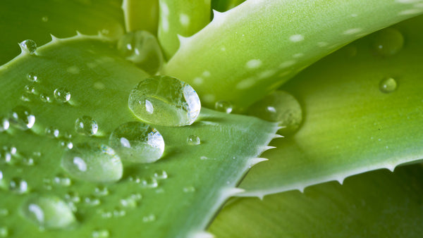 H2-Aloe! 5 Most-Loved Skin Benefits of Certified Organic Aloe Vera