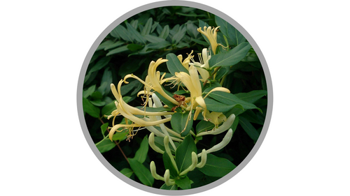 Certified Organic Lonicera Japonica (Honeysuckle) Flower Extract | Mokkie, CC BY-SA 3.0 <https://creativecommons.org/licenses/by-sa/3.0>, via Wikimedia Commons