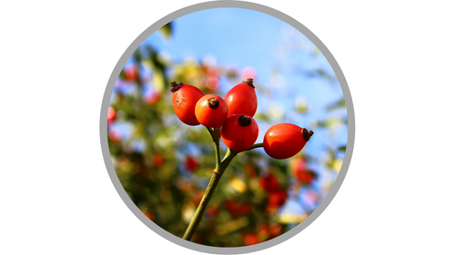 Certified Organic Rosa Canina (Rose Hip) Seed Oil