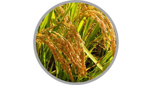 Certified Organic Oryza Sativa (Rice) Extract | あおもりくま,(Aomorikuma), CC BY-SA 4.0 <https://creativecommons.org/licenses/by-sa/4.0>, via Wikimedia Commons