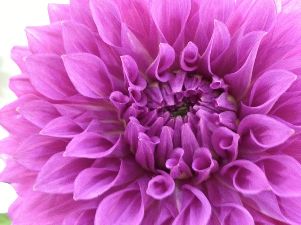 purple dahlia. so pretty.