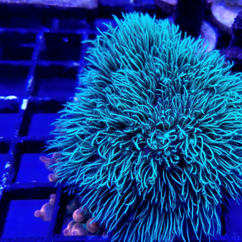 Metalic Green Star Polyps