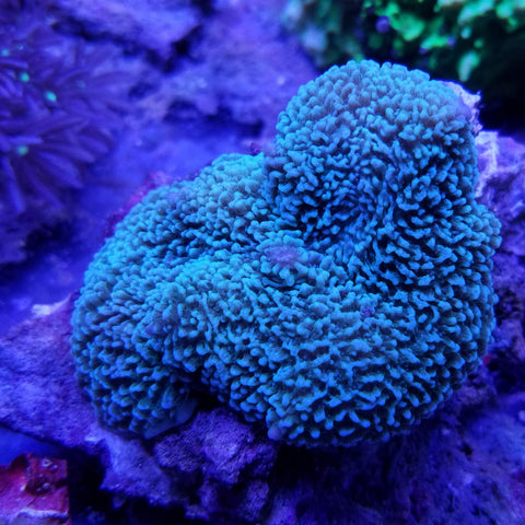 Green Elephant Muhroom Coral