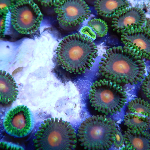 Green Bay Packers Zoanthids