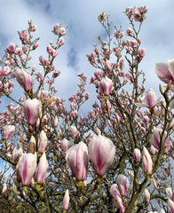 magnolia blossoms against a blue sky with a few light clouds