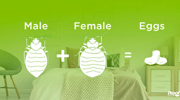 Bed Bug Mating Habits