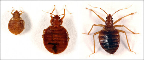 Identify Bed Bugs from Other Bugs
