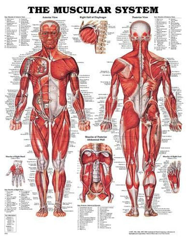 Picture of Muscular System Chart 20 w X 26 h