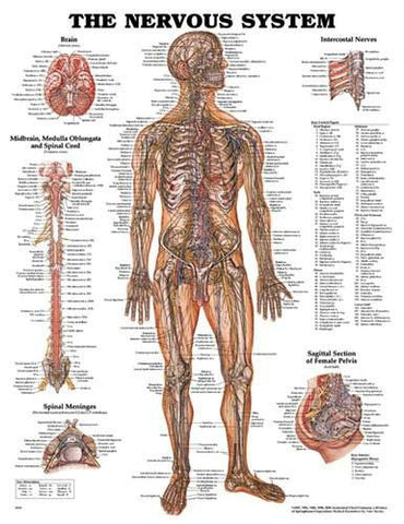 Picture of Nervous System Chart 20 w X 26 h