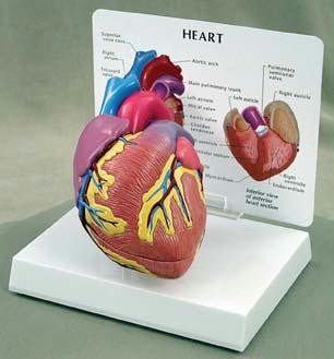 Picture of Heart Model