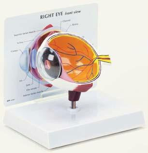 Picture of Eye Model
