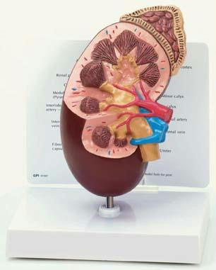 Picture of Kidney Model