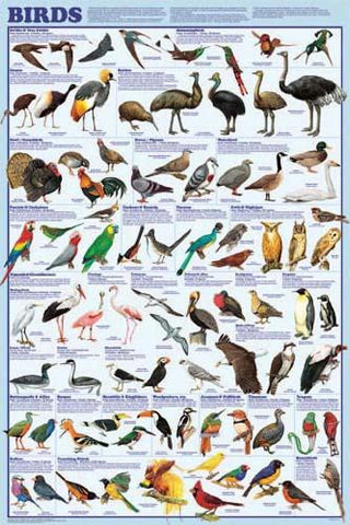 Picture of Birds Poster